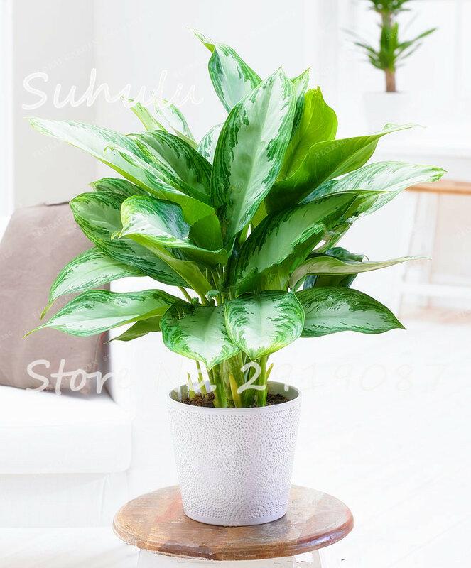 50pcs Heirloom Aglaonema Green Taro Seeds Indoor Bonsai Potted