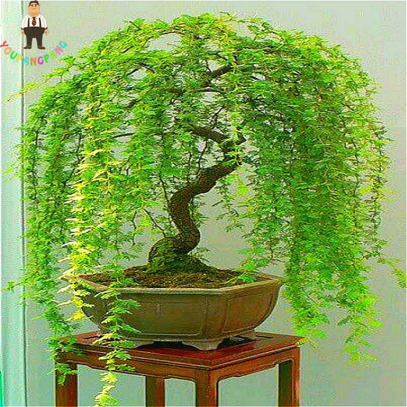Sale 50pcs Rare Sky Blue Willow Seeds Chinese Perennial Flower Indoor Plants Seed Evergreen Bonsai Tree For Garden Decoration Bestdealplus